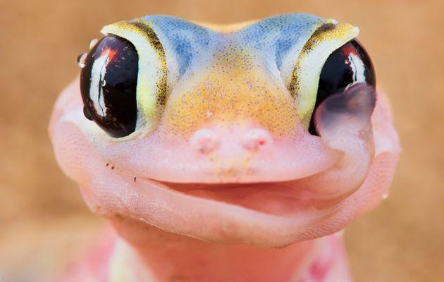 Sex Gecko